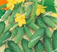 Насіння огірка пч. Хрустяшка, 0,5 гр