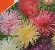 Семена цветов Астра Смесь игольчатая, 0.3 гр