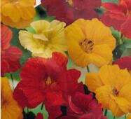 Семена цветов Настурция Высокорослая Махровая смесь, 1.0 гр