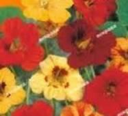 Семена цветов Настурция Низкорослая смесь, 1.0 гр