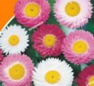 Семена цветов  Гелиптерум Сухоцвет смесь, 0.2 гр