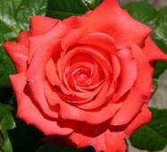Саженцы розы Holstein Perle (Жемчужина Гольштейна)