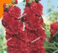 Семена цветов Мальва махровая высокая Красная, 0.3 гр