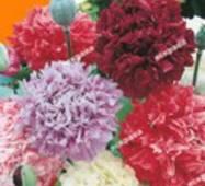 Семена цветов Мак махровый смесь, 0.2 гр