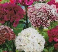 Семена цветов Гвоздика Турецкая махровая, 0.5 гр