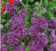 Семена цветов Мальва махровая высокая Фиолетовая, 0.3 гр