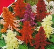 Семена цветов  Шалфей блестящий Смесь, 0.2 гр