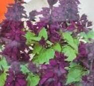 Семена цветов  Шалфей блестящий Фиолетовый, 0.2 гр