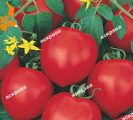 Насіння томату Ювілейний Тарасенко 0,1 гр