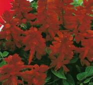 Семена цветов  Шалфей блестящий Красный , 0.2 гр