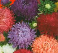 Семена цветов Астра Смесь пионообразная низкая, 0.3 гр