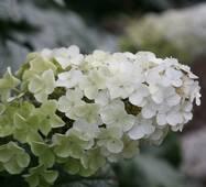 Гортензия крупнолистная снежная королева