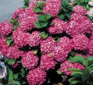 Гортензия крупнолистная розовое чудо описание