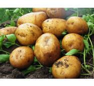 Картофель Карелия по  2 кг (ІКР-164-2)
