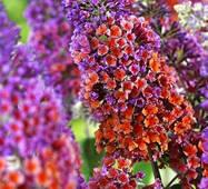 Будлея Давида (Flower Power)  (ОКН-2756),за 0,5-1,5л
