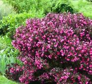 Вейгела florida Nana purpurea (ОКН-29) за  5-7,5л