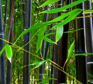 Черный бамбука семена