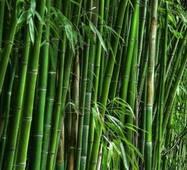 Семена морозостойкого бамбука Plyllostachys edulis mosso