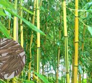 Насіння морозостійкого бамбука Phyllostachys Spectabilis