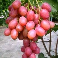 Саженцы винограда (оптом)