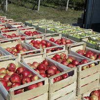 Оптовая продажа яблок