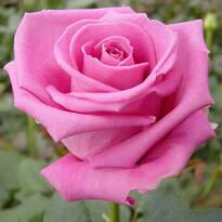 Троянди/Розы