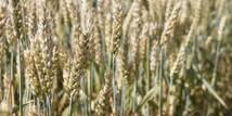 Доступний для замовлення сорт озимої пшениці Новосмуглянка 2016 року!