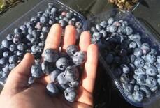 Саджанці лохини (голубика)Антиоксиданти у твоєму саду.