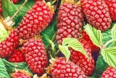 Советы по выращиванию ежемалины