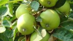 Вирощування яблук в Україні: тенденції, перспективи, проблеми…