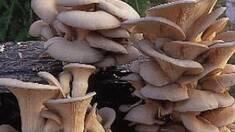 Глива - цінний їстівний гриб з цілющими властивостями