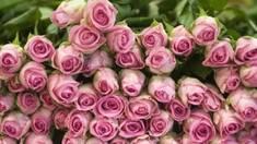 Найчарівніша і найпримхливіша квітка в саду - троянда. Вибираємо саджанці троянд
