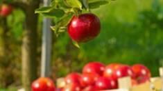 Продаж яблук оптом від вітчизняного підприємства — більше сортів, менше хімії!