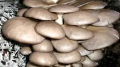 Вирощування гливи: коротко про особливості, витрати та прибутки