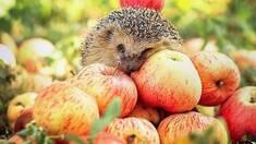 Вітамінний рай від Голд Сад - продаж яблук оптом, що подобаються Вам!