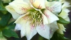 Морозник — рослина, що віддає перевагу зимі та морозу!