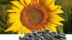 Турецьке насіння соняшника - вирощене під жарким небом та виготовлене з королівським смаком!