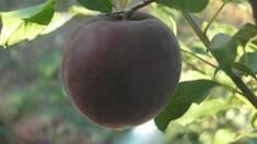 """Нові саджанці! Абрикос """"Чорний Принц"""" - пікантний смак аличі, персика і абрикоса"""