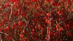Чудо-ягода довголіття. Купити саджанці Годжі в Україні тепер простіше простого