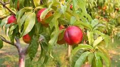Як я садив нектарин Рубіновий і де саджанці я купував…