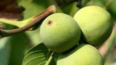 Як виростити грецький горіх?