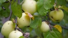 Які існують осінні сорти яблук?