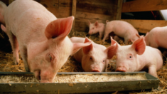 Комбікорм для свиней: годуємо з вигодою