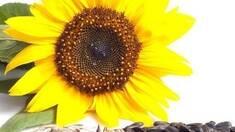 Користь насіння соняшника
