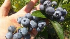 Для чого купувати ягоди лохини: їх користь та шкода