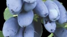 Жимолость – чудо-ягода з небаченою врожайністю!