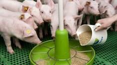 Как купленный комбикорм оптом для свиней превращается в деньги