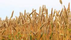 Основные причины, чтобы купить элитные семена пшеницы