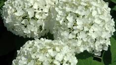 Гортензія біла: характеристика та догляд.