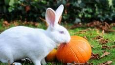 Особливості розведення кролів-велетнів